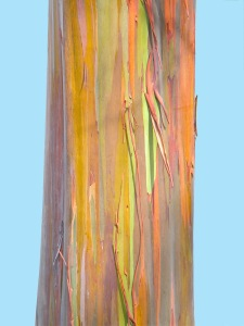 ware_gillian_painted_eucalyptus_2012